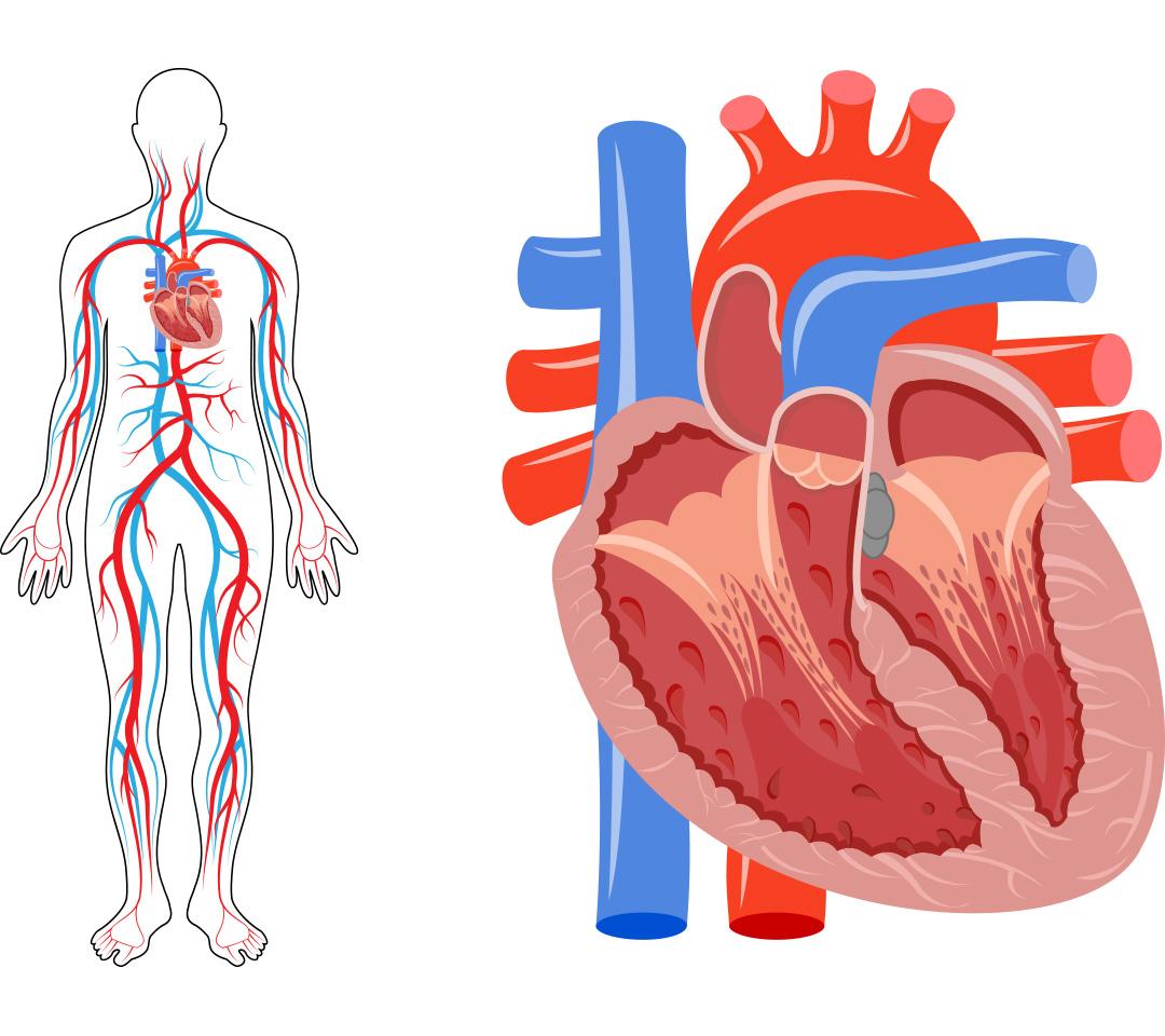 Ungewöhnlich Herz Anatomie Und Physiologie Quiz Fotos - Menschliche ...